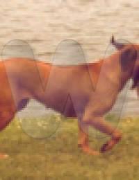Doggen_GC_Chaka
